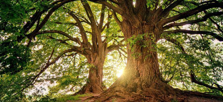 -Großer mächtiger Baum